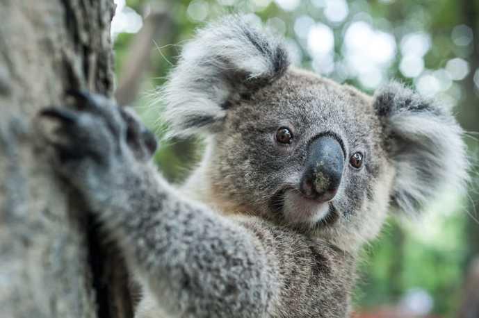 オーストラリアのおすすめの観光スポットにコアラガーデン