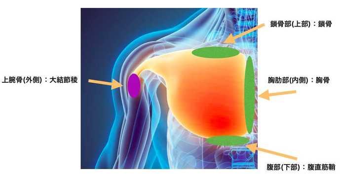 大胸筋の起始停止と位置について