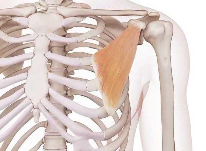 小胸筋の場所が分かる図解