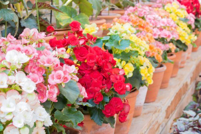 母の日のプレゼントはベゴニアの花束